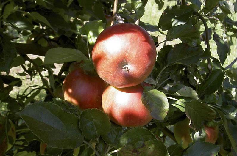 Prodej jablek v sadech Ostřešany